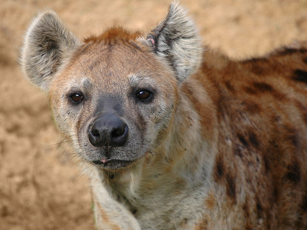 Are Hyenas Closer To Cats Or Dogs