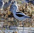 Close-Up Shot Of A Single Avocet With Flock in Background animaux provenant de Avocette