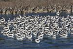 Large Flock Of American Avocets Float Off California Coast animaux provenant de Avocette