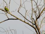 Wide Shot Of Coppersmith Barbet (Mostly Green) In Tree animaux provenant de Barbets