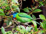 Side View Of Green Barbet With Red, Yellow And Blue On Head animaux provenant de Barbets