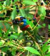 Taiwan: Brightly Colored Barbet Chomps Small Fruit animaux provenant de Barbets