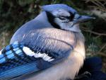 A Blue Jay that Looks Fat And Contented animaux provenant de Geai bleu