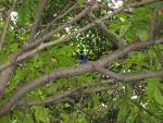 Wide Photograph Asian Fairy Bluebird In Green Succulent Tree animaux provenant de Oiseau bleu 2