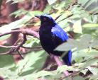 Asian Fairy Bluebird With Red Eye Photographed In Hong Kong Tree animaux provenant de Oiseau bleu 2