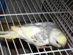 Mostly White Parakeet Stands On Side Of White Coated Wire Cage animaux provenant de Perruche
