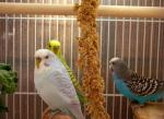 Three Differently Colored Parakeets Hang Out In A Cage animaux provenant de Perruche