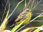 Yellow-Fronted Canary In Grassy Field animaux provenant de Canari