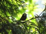 Little Chickadee Looks Out From Cedar Tree Near Vancouver animaux provenant de M�sange