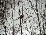 Wide Photograph Of Chickadee On Leafless Branches On Cold Day animaux provenant de M�sange