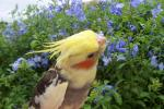 Cockatiel Turns Head With Pretty Yellow Feathers With Small Blue Flowers in Background animaux provenant de Calopsitte