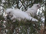 Pair Of Immature Cockatoos High Up In Tree animaux provenant de Cacato�s