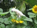 Sulfur Crested Cockatoo Alights On Sunflower, Presses It Down animaux provenant de Cacato�s