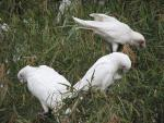 Three Cockatoos Look For Something to Eat In The Grass animaux provenant de Cacato�s