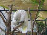 Two Cockatoos Preen Each Other In Large Rectangular Cage animaux provenant de Cacato�s