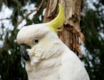 Close Headshot Of Sulfur Crested Cockatoo With Tree In Background animaux provenant de Cacato�s