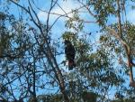 Glossy Black-Cockatoo Seen High In Trees animaux provenant de Cacato�s