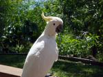 Mostly White Cockatoo Poses Perfectly In Front Of Succulent Trees animaux provenant de Cacato�s