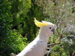 Picture Of Sulfur Crested Cockatoo On Island Of Coast Of Queensland animaux provenant de Cacatoès