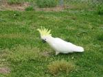Sulphur-crested Cockatoo Grazes On Short Green Lawn animaux provenant de Cacato�s