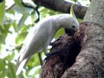 What Looks Like A Yellow Crested Cockato Peering Into A Tree Hole animaux provenant de Cacato�s