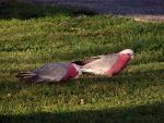 A Pair of Galahs Walk On Short Cropped Lawn In Queensland, Australia animaux provenant de Cacato�s