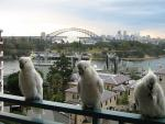 Three Wild Cockatoos Land On Apartment Railing for A Handout animaux provenant de Cacato�s