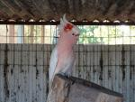 Major Mitchell's Cockatoo In Zoo With Red Patch On Head And Crest animaux provenant de Cacato�s