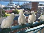 Four Cockatoos Loiter On Railing Overlooking Sydney Harbor animaux provenant de Cacatoès