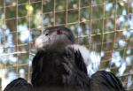 Andean Condor Looks Proud Despite Captivity animaux provenant de Condor des Andes