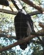Andean Condor Perches On Cut Branch In Aviary animaux de                   Dariane</b>17 provenant de Condor des Andes