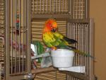 Sun Conure Stands On White Cup At Threshold To Classy Cage animaux provenant de Conure