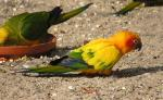 Vivid Sun Conure Stands On Ground In European Zoo animaux provenant de Conure