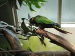 Blue Throated Conure In Bird House in New York's Central Park animaux provenant de Conure