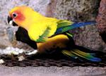 Astonishing And Brilliant Sun Conure animaux de                   Abia75 provenant de Conure