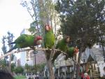 Four Aggressive And Overexposed Parrots Alight On Curved Branch animaux provenant de Conure