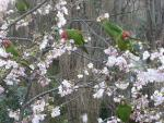 Red-Masked Conures Fill A Floweing Tree In Park animaux provenant de Conure