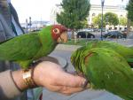 America's Urban Parrots Are Not Afraid Of People animaux provenant de Conure