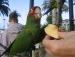 Feral Parrot Looks Very Satisfied To Munch On Slices of Apple animaux provenant de Conure