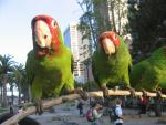 Green Parrots With Red Heads Look At Home In Downtown San Francisco animaux de                   Adélaïde40 provenant de Conure