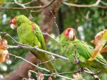 Two Cherry Headed Conures Look Down from Tree animaux provenant de Conure