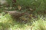 Field Sparrow Puts Food In Mouth Of Juvenile Cowbird animaux provenant de Cowbirds