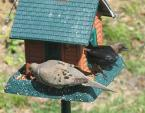 Male Cowbird (Dark) Lurks At Feeder With Mourning Dove animaux provenant de Cowbirds