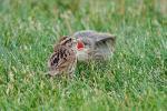 Song Sparrow  Deceived Into Feeding a Brown-headed Cowbird Chick animaux provenant de Cowbirds