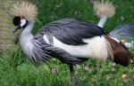Well Composed Side View Of Standing Crowned Crane animaux provenant de Grue couronn�e