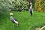 Grey Crowned Cranes In Manicured Landscape of Flowering Bushes animaux provenant de Grue couronn�e