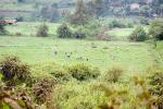 Grey Crowned Cranes Alight In Field In Rural Uganda animaux provenant de Grue couronn�e