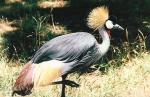 South African Crowned Crane With Colorful Tail Feathers animaux provenant de Grue couronn�e