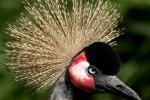 Very Close Crowned Crane In Near Profile, Blue Eye animaux provenant de Grue couronnée