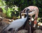 Demoiselle Crane Stands Proudly While Flamingo In Background Puts Head Down animaux provenant de Grue demoiselle
